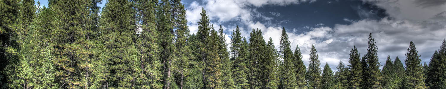 Sierra forest tree tops and sky