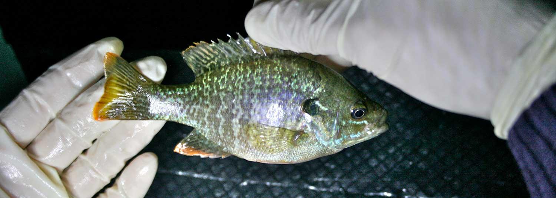 sampling fish for mercury